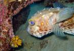Удивительная рыба фугу