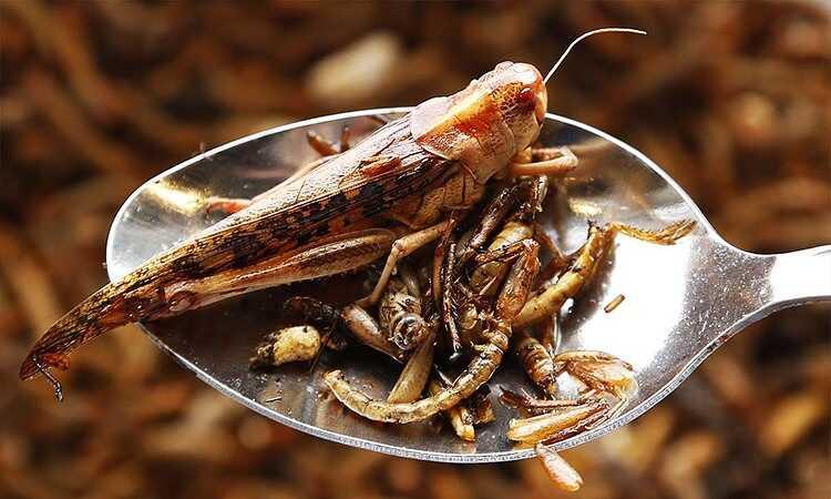 entomofagi 15