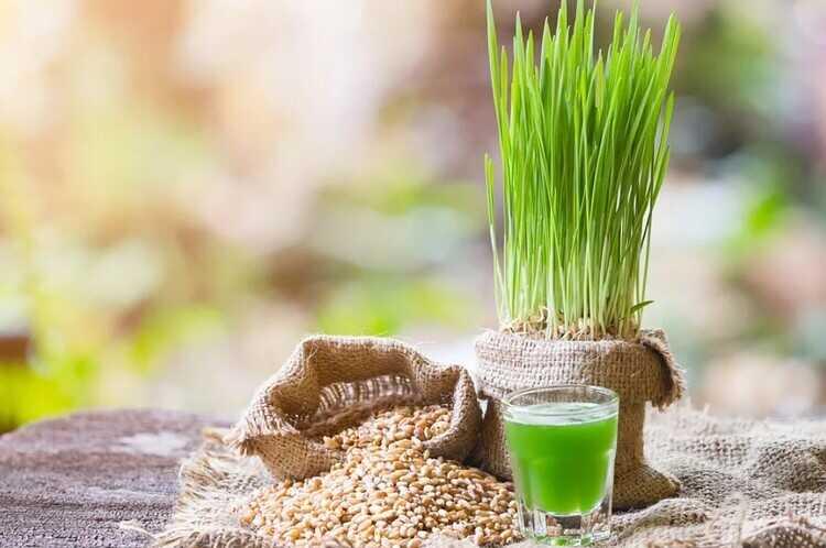 Зеленая пророщенная пшеница