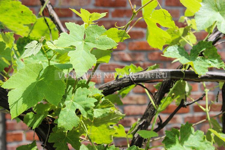 vinogradny listja 1